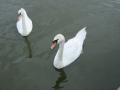 Swans at Sawley Marina 01